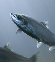 Wild & Farmed Salmon: A Field Guide to End-Use Efficiency Companies